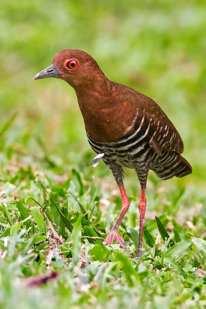 Figure 10. A Photo of a Red-legged Crake. Photo by Eric Tan ©