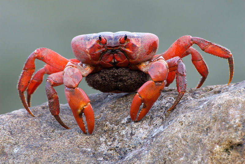 Christmas Island Red Crab.Christmas Island Red Crab